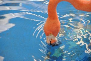 Flamingo at the Curacao Sea Aquarium